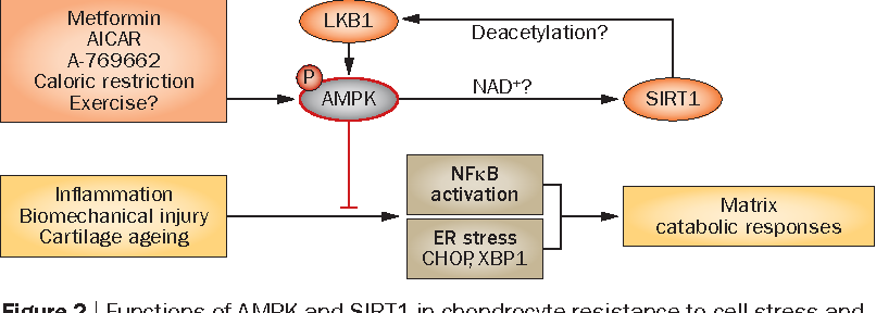 figure 2 | functions of ampk and sirt1 in chondrocyte resistance to cell  stress and inflammatory