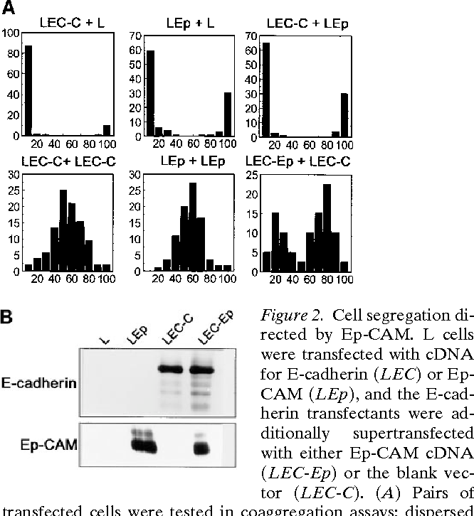 Epithelial Cell Adhesion Molecule (Ep-CAM) Modulates Cell