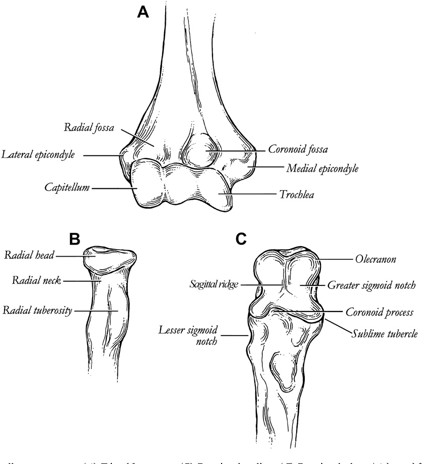 Figure 2 from Anatomy and biomechanics of the elbow. - Semantic Scholar
