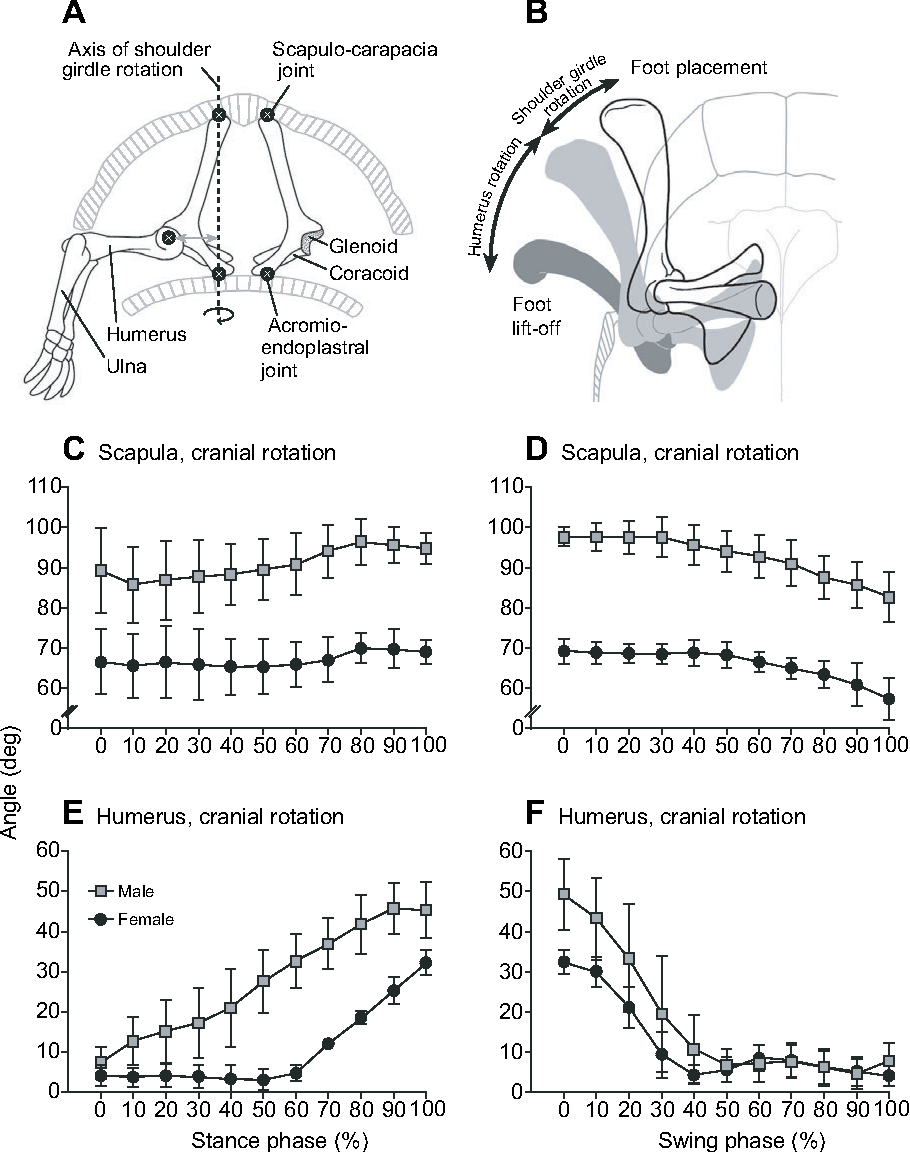 Shoulder girdle rotation, forelimb movement and the influence of ...