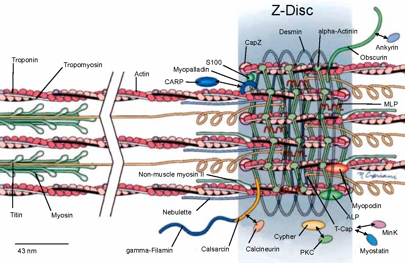The cytoskeleton of the cardiac muscle cell. - Semantic Scholar