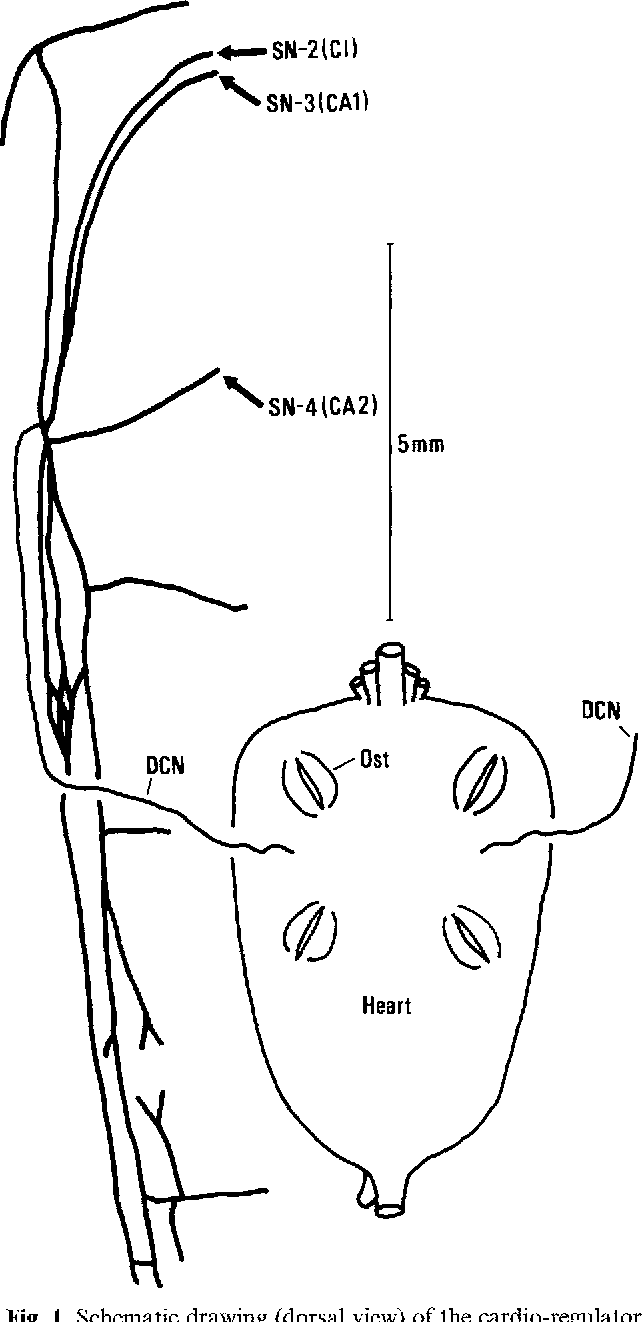 The cardio-regulator nerves of the hermit crabs: anatomical and ...