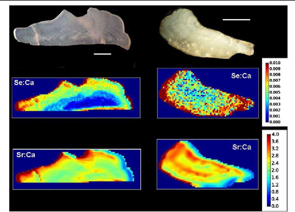 Figure 2 from Selenium detected in fish otoliths: a novel tracer for