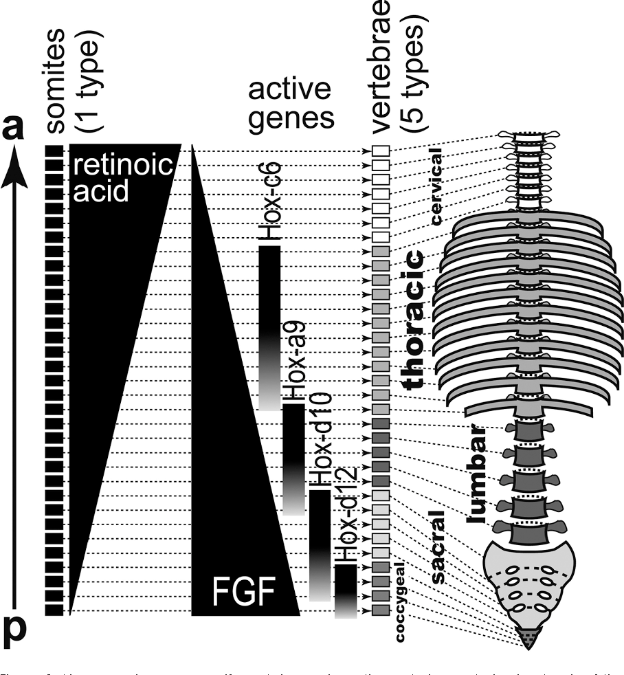 The Evolutionary Geometry of Human Anatomy : Discovering Our Inner ...