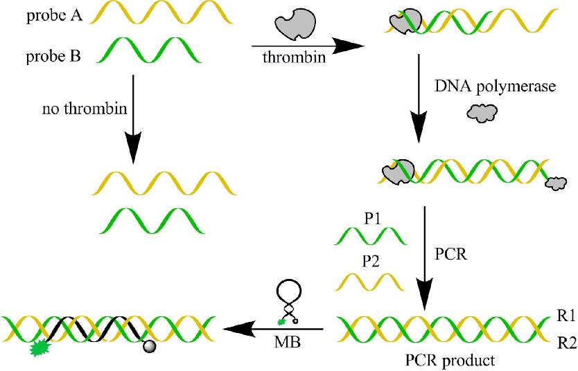 Figure 1. Scheme of the biosensor for thrombin.
