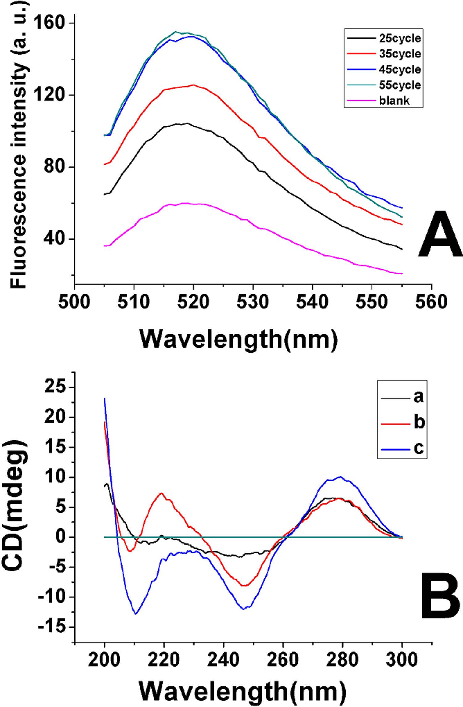 Figure 2. (A) Fluorescence spectroscopy of molecular beacon after hybridization with different cycle of PCR product. The PCR amplification was carried out under the condition of 30 s denaturation at 94 °C, 30 s of