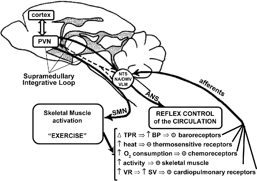 Figure 1 From Neural Control Of Circulation And Exercise A