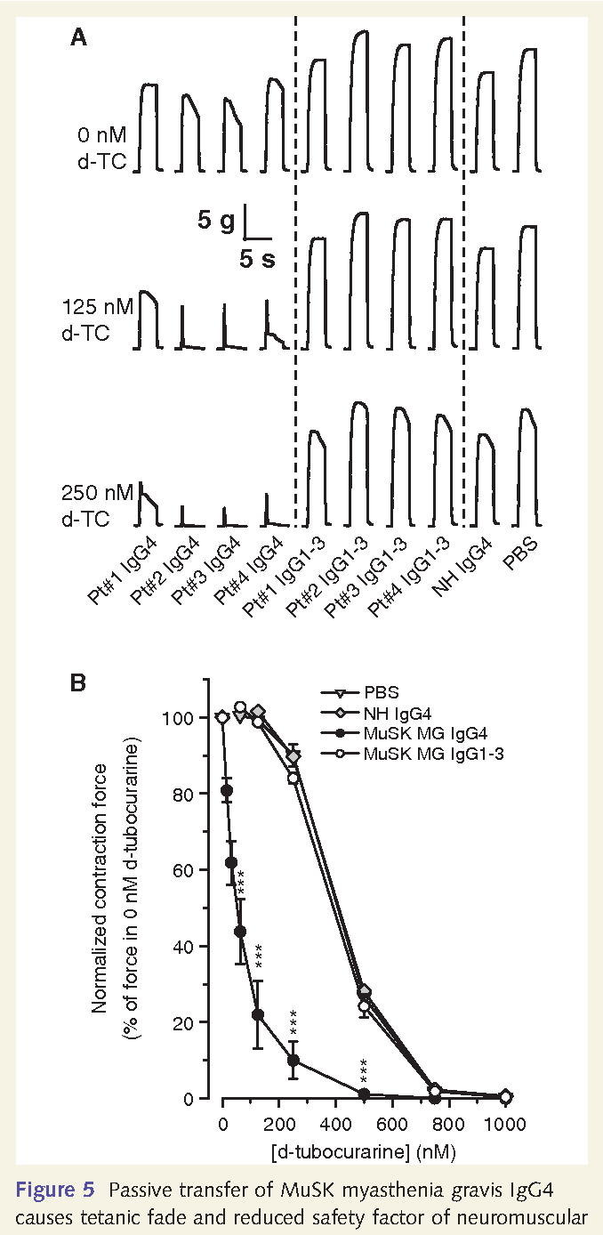 Muscle-specific kinase myasthenia gravis IgG4 autoantibodies cause ...