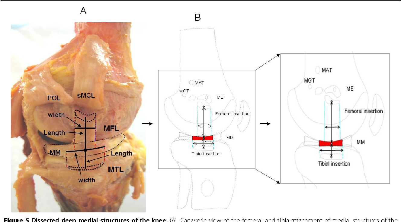 Structure Of Medial Collateral Ligament Of Knee Joint Semantic Scholar
