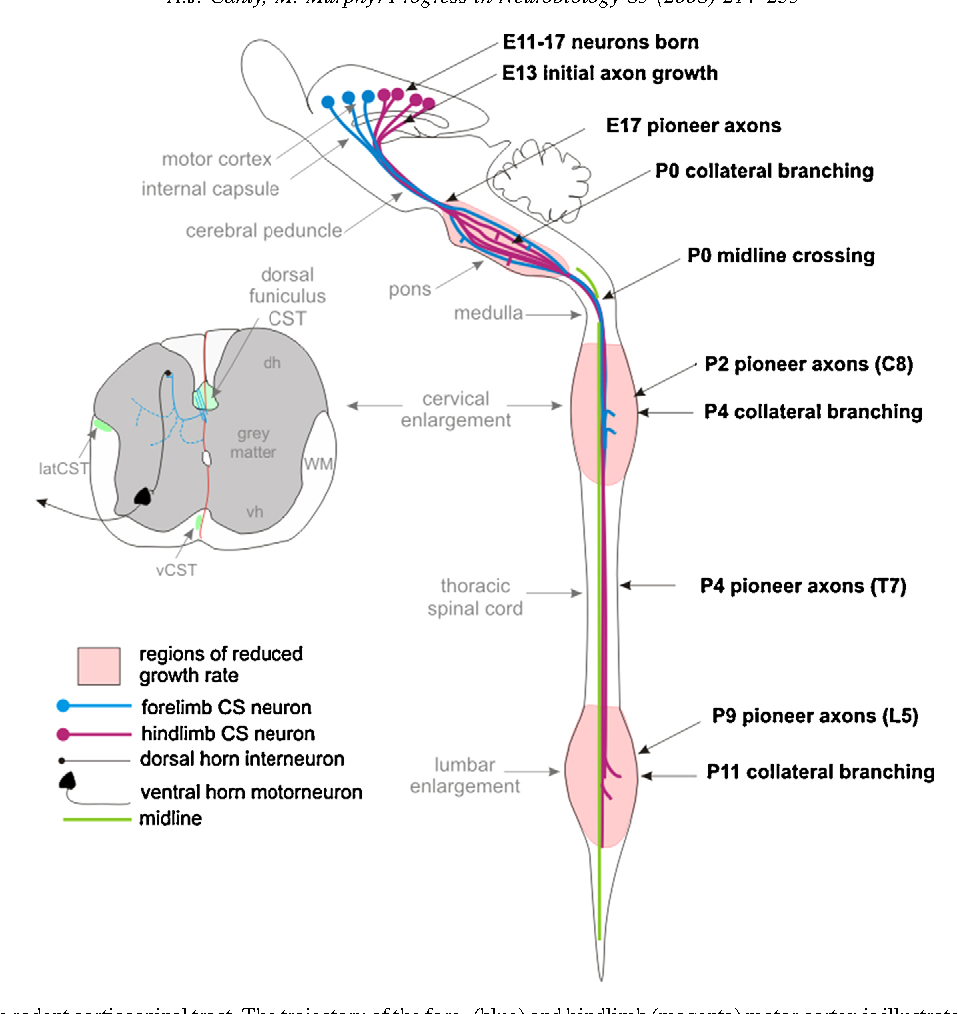 Figure 1 from Molecular mechanisms of axon guidance in the ...