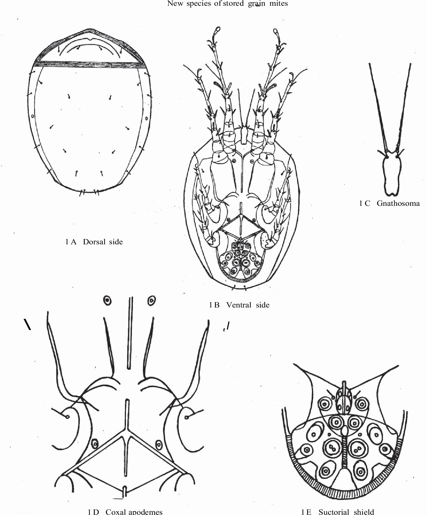 Figure 1 from TWO NEW MITE SPECIES (HYPOPI) OF THE GENUS