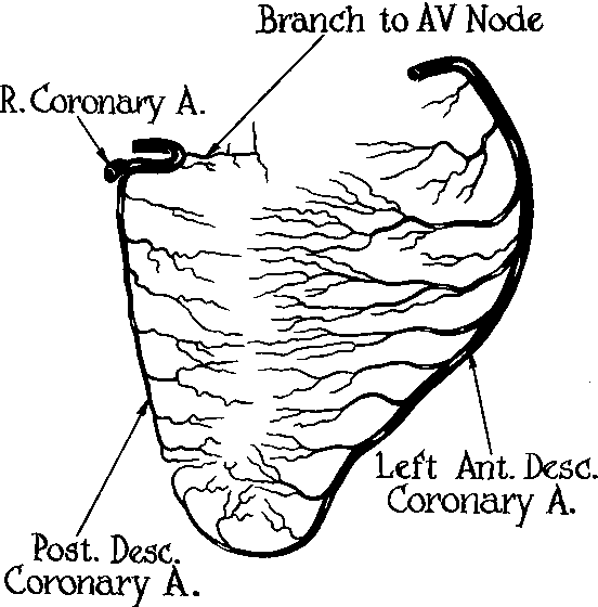 Figure 2 From Blood Supply Of The Human Interventricular Septum