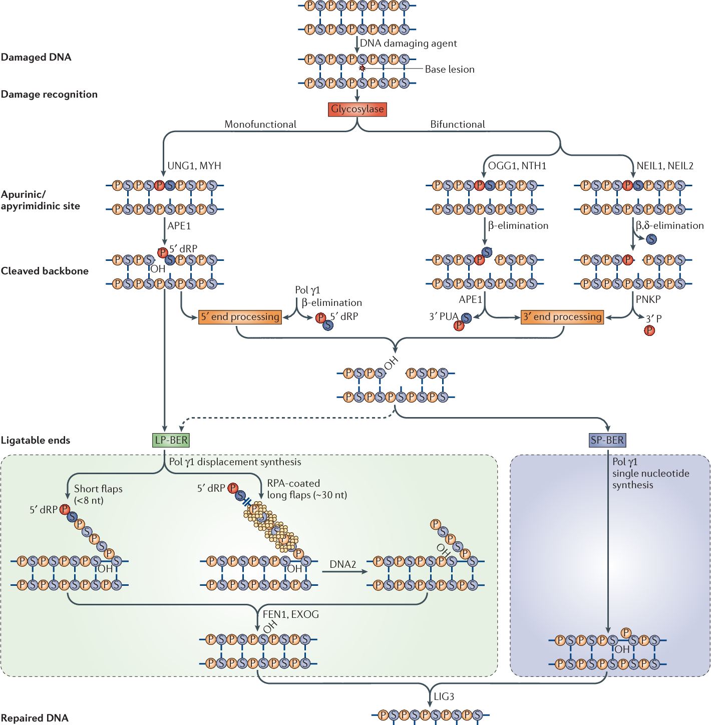 Figure 1 from Minimizing the damage: repair pathways keep