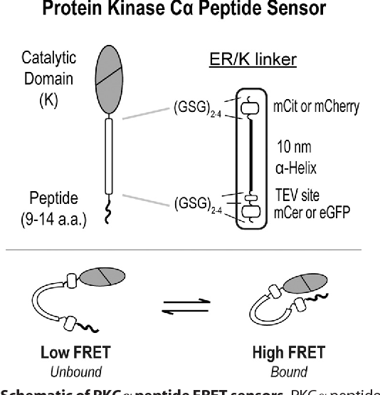 PDF] Substrate Affinity Differentially Influences Protein Kinase C