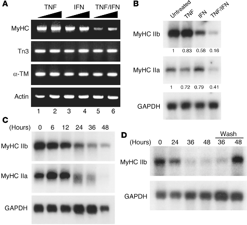 Figure 2 Chronic TNF/IFN signaling is required to induce the temporal downregulation of MyHC mRNA. (A) Myotubes were treated with DM containing increasing doses of TNF (5 ng/ml, lane 1; 10 ng/ml, lane 2), IFN (50 U/ml, lane 3; 100 U/ml, lane 4), or TNF plus IFN (5 ng/ml + 50 U/ml, lane 5; 10 ng/ml + 100 U/ml, lane 6). After 48 hours, RNA was prepared and RT-PCR was performed (MyHC IIb; Tn3, troponin T3; α-TM, α-tropomyosin; α-actin). (B) Myotubes were either untreated or treated with TNF (5 ng/ml), IFN (50 U/ml), or TNF plus IFN (5 ng/ml + 50 U/ml) for 48 hours. RNA was prepared, and Northern blots probing for MyHC IIa and IIb were performed. GAPDH was used as a loading control. Numbers are densitometric values normalized to GAPDH. (C) Myotubes were treated with TNF/IFN, and at the indicated times RNA was prepared and Northern blots probing for MyHC type IIa and IIb were performed. (D) Myotubes were treated with TNF/IFN for 24 hours, at which time cells continued to be treated with cytokines or were washed with PBS and switched to DM (Wash). RNA was prepared at the indicated time points, and Northern blots probing for MyHC IIb were performed. Similar results were obtained from two additional independent experiments.