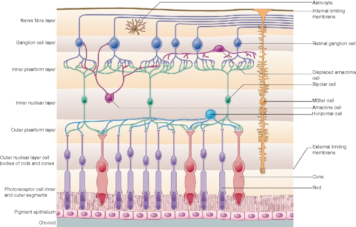 Anatomy and Physiology of the Retina - Semantic Scholar
