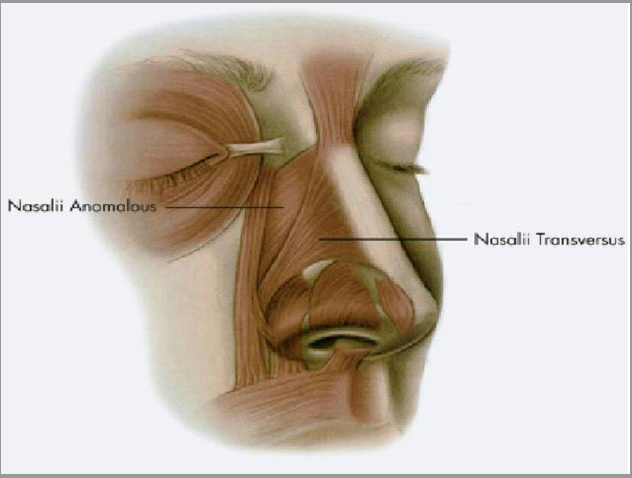 Figure 6 From Nasal Anatomy For The Dermatological Surgeon