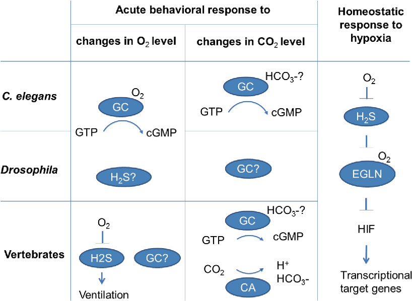 The Neurobiology Of Sensing Respiratory Gases For The Control Of