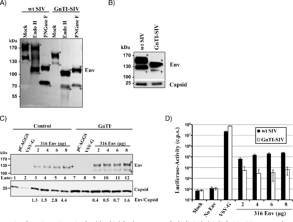 FIG 2 Incorporation of gp120 into GnTI-SIV is reduced, but this defect does not account for the diminished viral infectivity. (A) Concentrated preparations of wt SIV and GnTI-SIV, normalized for equal contents of gp160, were mock treated or digested with endo H or PNGase F, and the migration pattern of Env was analyzed by Western blotting using an antibody against gp120. Similar results were obtained in a separate experiment. (B) Stocks of wt SIV and GnTI-SIV containing equal amounts of capsid antigen were concentrated and analyzed for Env and p27 capsid protein content by Western blotting. Similar results were obtained in three separate experiments. (C) Env-defective HIV-1 particles pseudotyped with SIVmac239/316 Env were produced in GnTI and control cells and concentrated, and the Env and p24 capsid protein content was analyzed by Western blotting. Comparable results were obtained in a separate experiment. (D) Particles were produced as described for panel C, and particle infectivity was determined using GHOST CD4 CCR5 cells as targets. The results of a single representative experiment performed with quadruplicate samples are shown and were confirmed in two separate experiments. Error bars indicate SD. In panels A to C, bands corresponding to gp160 are marked with an asterisk, and bands corresponding to gp120 are marked with a plus sign.