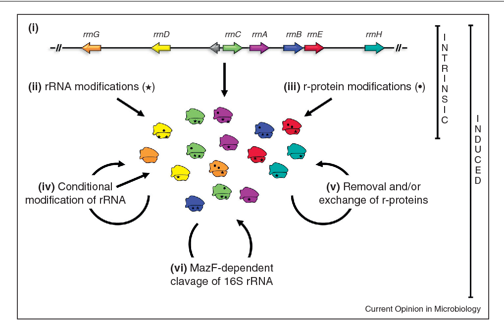 Ribosome Heterogeneity Another Level Of Complexity In Bacterial