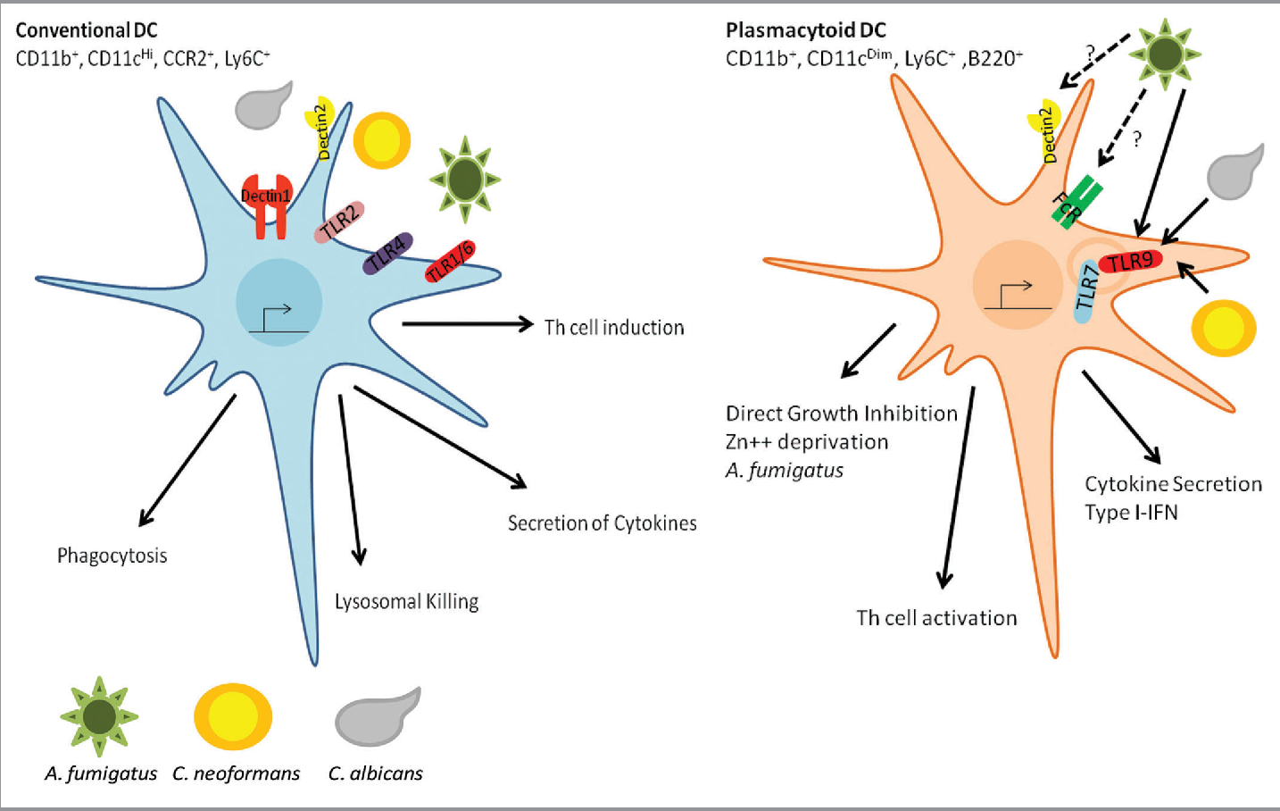 The Role Of Dendritic Cells In The Innate Recognition Of Pathogenic