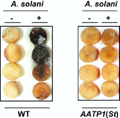 Fig. 2 Effect of Alternaria solani on discs prepared from wild-type, or AATP1(St) anti-sense potato tubers. Tuber discs were prepared from freshly harvested wild-type (WT ) or AATP1(St) anti-sense plants (line JT654) and left untreated ()) or inoculated (+) with 250 Alternaria solani spores (given in 50 ll of water). Inoculation was for 3 days, at 16 C. The extent of infection by A. solani is evidenced by the black colouration of the tissue