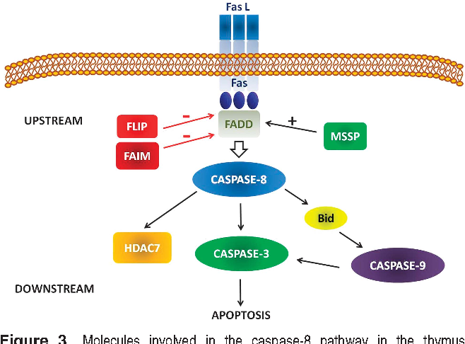 Role Of Caspase 8 In Thymus Function Semantic Scholar