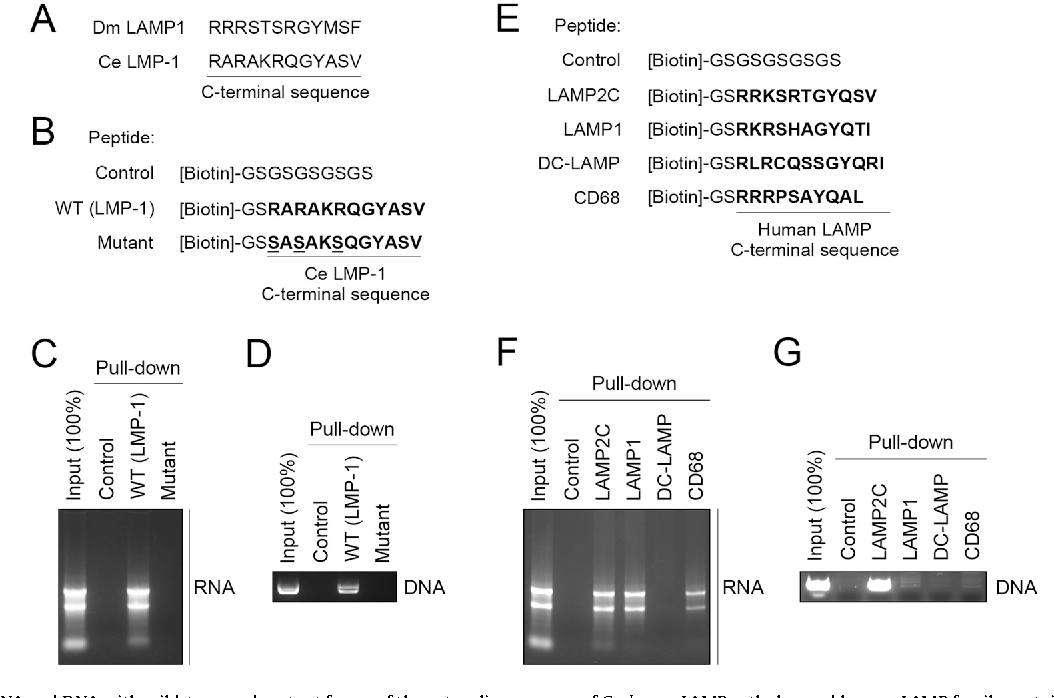 Fig. 4. Interactions of RNA and DNAwith wild-type and mutant forms of the cytosolic sequence of C. elegans LAMP ortholog and human LAMP family proteins other than LAMP2. (A) Cytosolic sequences of D. melanogaster and C. elegans LAMP orthologs. (B) A schematic of biotin-conjugated peptide constructs. (C) Interactions of purified total RNA with wild-type and mutant forms of cytosolic sequence of C. elegans LAMP. (D) Interactions of purified plasmid DNA (pCI-neo) with wild-type and mutant forms of cytosolic sequence of C. elegans LAMP. (E) A schematic of biotin-conjugated peptide constructs. (F) Interactions of purified total RNA with the cytosolic sequences of human LAMP2C, LAMP1, DC-LAMP and CD68. (G) Interactions of purified plasmid DNA (pCI-neo) with the cytosolic sequences of human LAMP2C, LAMP1, DC-LAMP and CD68.