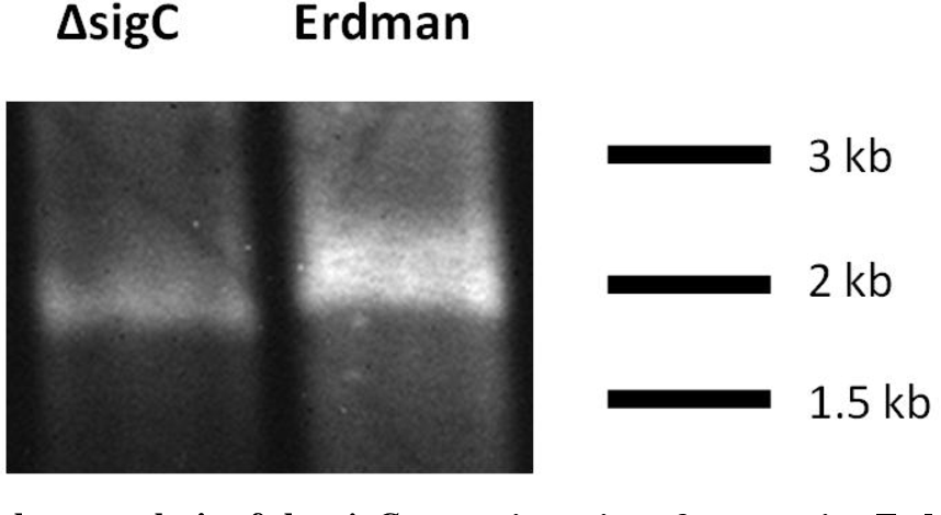 Figure 3.1: Southern analysis of the sigC genomic regions from strains Erdman and ΔsigC. Consistent with a ~140 bp deletion within sigC, the ΔsigC strain yields a genomic DNA band correspondingly smaller than that observed from strain Erdman.