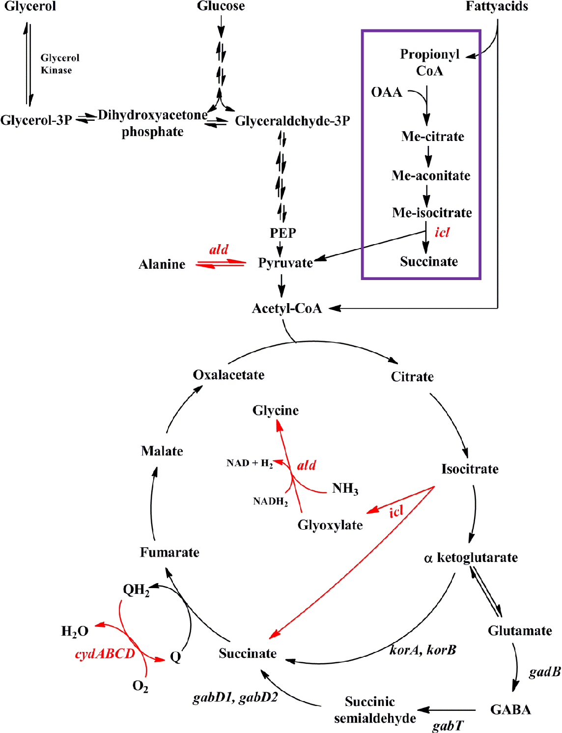 Figure 3.6: Drawing of M. tuberculosis central carbon metabolism. Shown is a minimalistic depiction of central carbon metabolism in M. tuberculosis. Genes encoding enzymes responsible for specific steps are shown. Genes upregulated in ΔsigC versus Erdman in Sauton medium are indicated (red arrows). The methylcitrate cycle is highlighted (purple box).