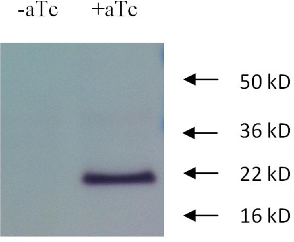 Figure 3.8: Immunoblot detection of myc-SigC in M. bovis BCG/pSR173. Duplicate cultures of M. bovis BCG carrying aTc-inducible myc-sigC expression plasmid pSR173 were grown in 7H9 medium. At OD600 =0.2, 50 ng/ml aTc was added to one culture (+aTc), but not to the other (- aTc) and both cultures were incubated 48 hr prior to harvesting the cells and preparation of whole cell lysates. Equivalent protein loads from each condition were separated by SDS-PAGE. Following transfer to PVDF membrane, western immunoblotting was performed with a monoclonal antibody to Myc. The migration of protein standards is indicated on the right.