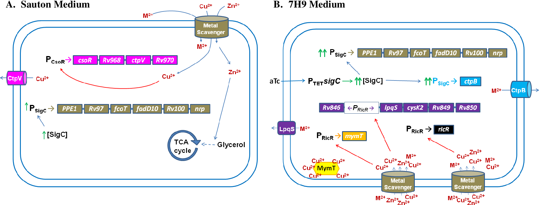 Figure 3.11: A model for SigC function in metal regulation. Diagrammed are genes impacted positively by M. tuberculosis SigC in A) Sauton medium lacking added Zn 2+ or Cu 2+ or B) 7H9 medium containing each at 6 μM. Genes are not drawn to scale. Promoters (P) are subscripted with known regulators. Upward green arrows denote elevated levels of SigC or SigC-transcribed genes. Metalmediated promoter derepression is indicated by red arrows. A) In a very low metal environment, SigC transcribes the nrp operon, encoding a predicted trace-metal scavenging system. Imported metals include Zn 2+ (activates glycerol kinase to enable growth on glycerol) and Cu 2+ (binds copper-sensitive operon repressor, CsoR, and derepresses the csoR operon encoding cation transport protein V, CtpV [185] and other potential metals (M 2+ ). CtpV functions as a copper-exporting ATPase [172]. B) When trace metals are not scarce, induction of sigC from a tetracycline-inducible promoter (TET) by anhydrotetracycline (aTc) results in increased SigCmediated transcription of the nrp operon which causes an influx of trace metals. Imported Cu 2+ binds regulated-in-copper repressor (RicR) [175], resulting in derepression of ricR, mymT (encoding a Cu-binding metallothionein [174]) and the lpqS operon (encoding proteins that function to minimize oxidative damage by excess Cu 2+ [175]. Repression of ctpB is relieved by an unknown metal, enabling SigC-mediated transcription. The encoded CtpB protein is predicted to function as ATPase to export the inducing metal.
