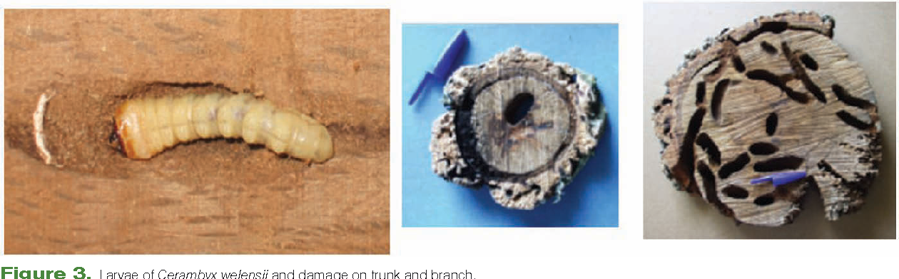 Figure 3. Larvae of Cerambyx welensii and damage on trunk and branch.