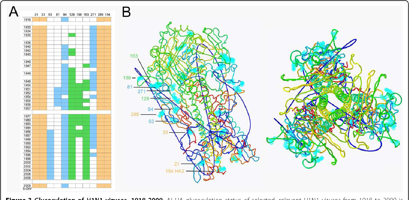 Figure 3 Glycosylation of H1N1 viruses, 1918-2009. A) HA glycosylation status of selected, relevant H1N1 viruses from 1918 to 2009 is shown. Beige coloration shows potential glycosylation sites in the fusion domain at positions 21, 33, 289, and 154 (HA2). Blue coloration represents glycosylation status at positions 63, 81, 94, and 271 in the vestigial esterase domain. Green coloration indicates glycosylation status at positions 129 (or 131), 156, and 163 on the globular head near the receptor binding site. The site labeled 129 had the attachment asparagine at position 131 through 1984, but at position 129 from 1986 to the present; these overlapping sites are mutually exclusive so are represented together. B) Structural representations of the H1N1 HA trimer based on the crystal structure of the 1918 pandemic strain [27]. Sites for potential glycosylation have been superimposed on the structure in light blue and labeled to correspond to the chart in Figure 3A.