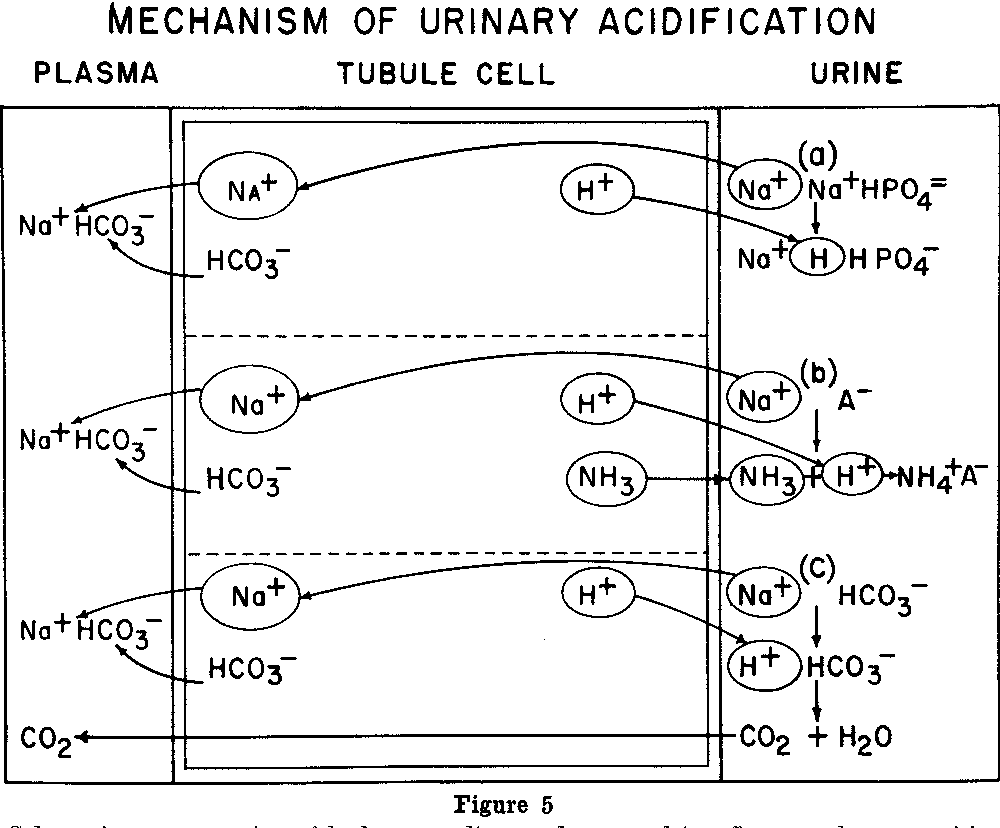 Figure 5 from ion exchange in the nephron low potassium semantic figure 5 schematic representation of hydrogen sodium exchange and its effects on the composition of ccuart Images