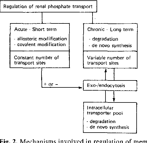 """Fig. 2. Mechanisms involved in regulation of membrane transport of Pi are divided into acute and chronic regulation. Acute regulation may stimulate or inhibit processes leading to chronic regulation until new levels of t ransport are reached (~ ed transport""""). Adapted from Murer H, Malmstrom K (1987) News Physiol Sci 2 : 4 5 - 4 8"""