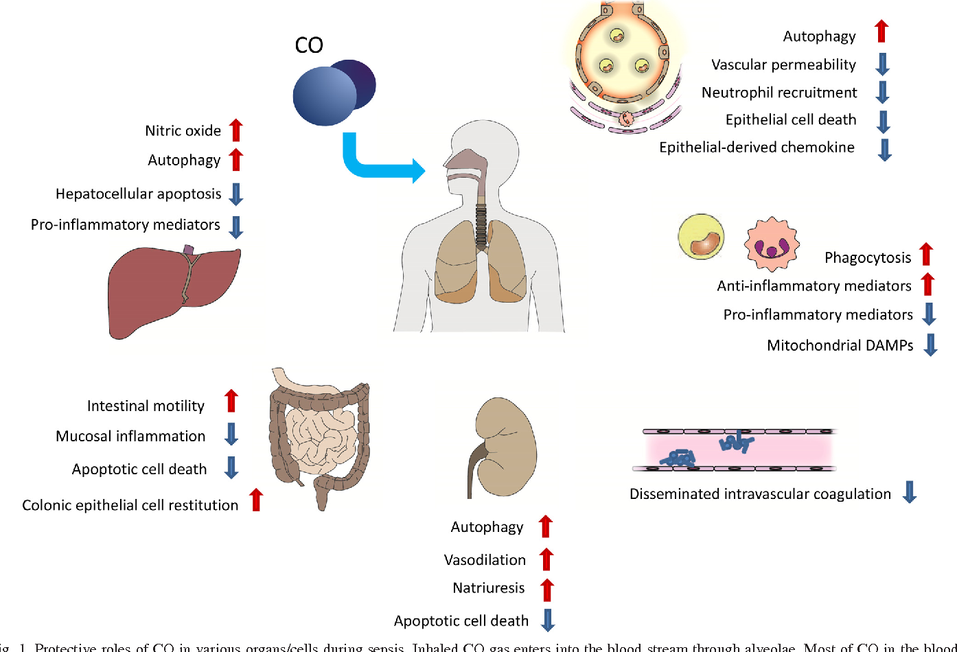 Figure 1 from carbon monoxide in the treatment of sepsis semantic fig 1 protective roles of co in various organscells during sepsis sciox Gallery