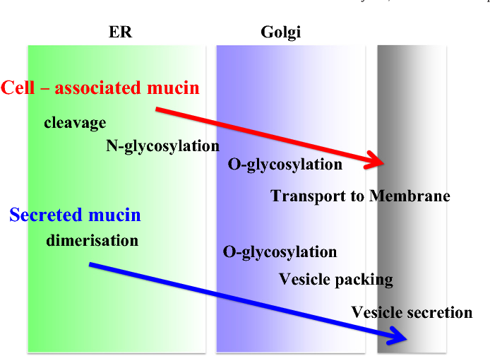 Fig. 2. Sequence of events in the biosynthesis of secreted and membrane-associated mucins. The principal events in the biosynthesis and final targeting of membraneassociated and secreted mucins are represented in diagrammatic form.