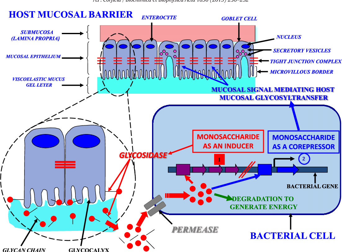 Fig. 4. Glycan legislation. The cartoon shows the relationships at the host mucosal surface with the enteric bacterial population in the colorectum.