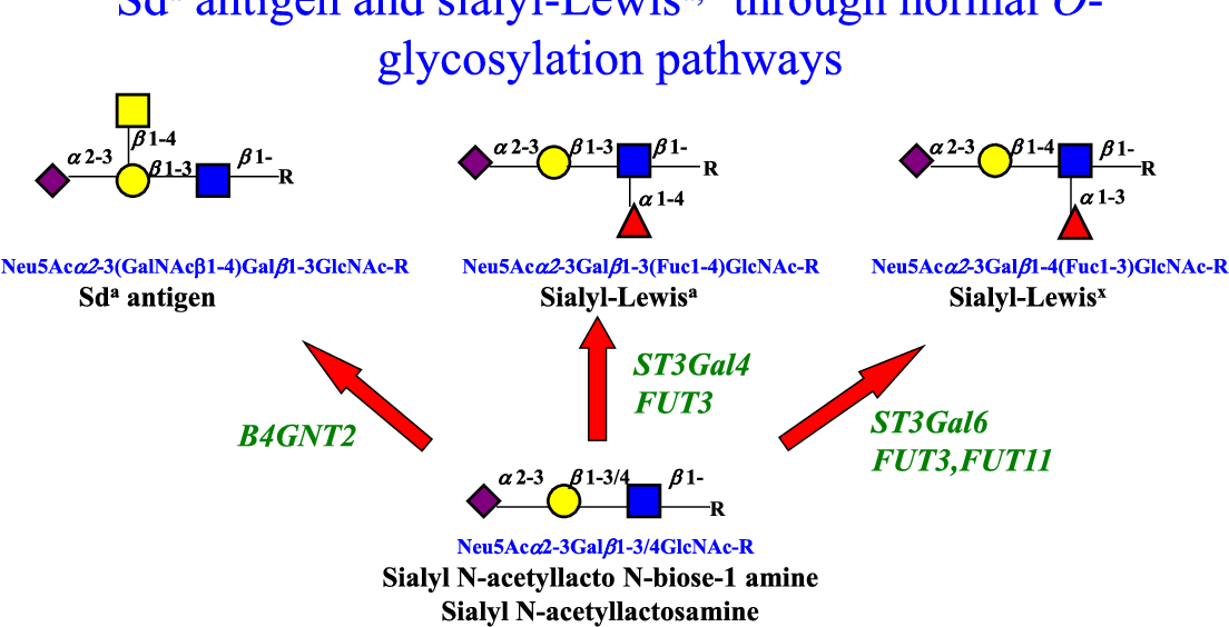 Fig. 5. Sialyl N-acetyllactosaminemetabolism. Sialyl (α2–3) N-acetyllactosamine is a branch po and sialyl-Lewisy. The glycosyltransferases responsible for these steps, Sda synthase, B4GNT2,α are shown.