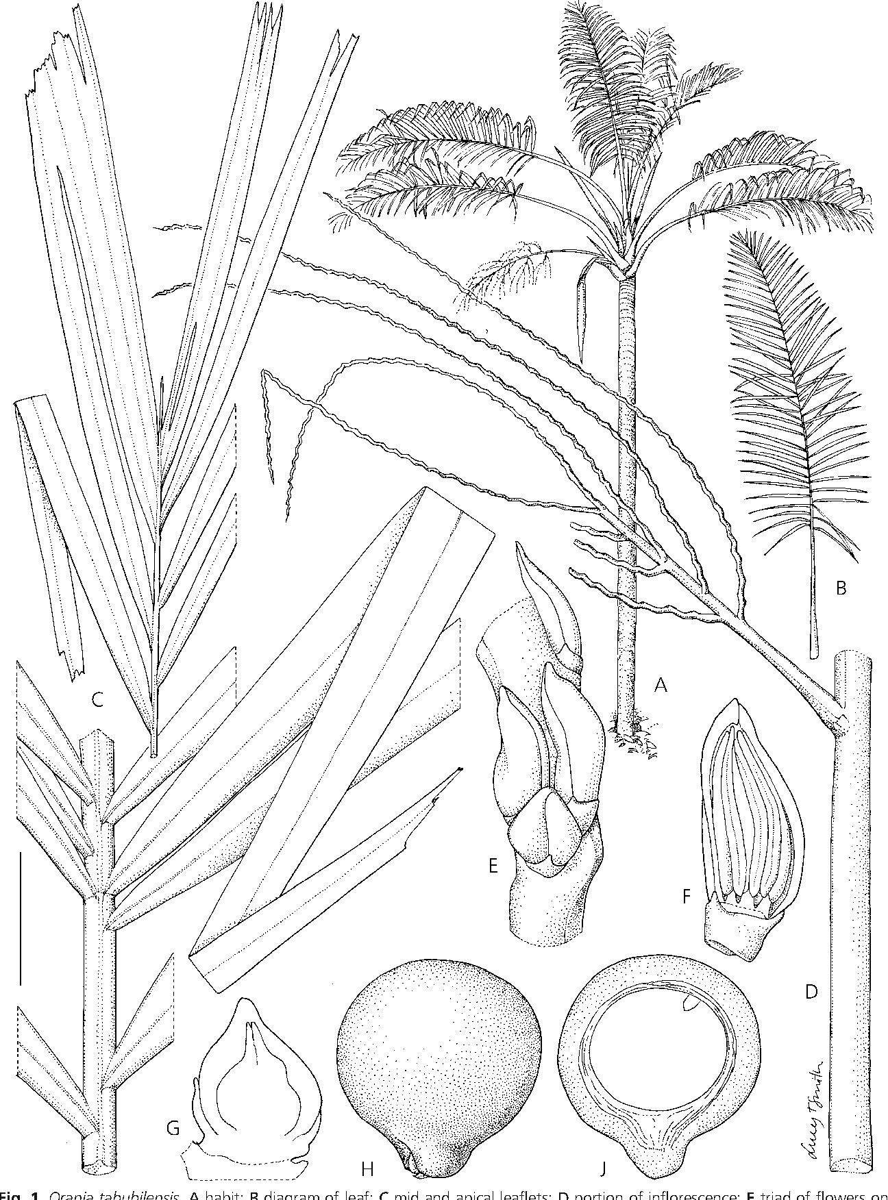 Figure 1 from a monograph of the genus orania arecaceae oranieae a habit b diagram of leaf c ccuart Choice Image