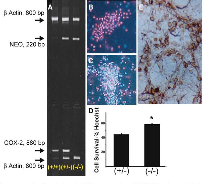 Fig. 2 Cell survival in cyclooxygenase-2 null ( / ) and COX-2 heterozygote (+/ ) mice after hypoxia. Mice were cross-bred 7–10 generations and their genotype determined by PCR of DNA isolated from tail samples with b-actin used as a control to confirm the presence of amplified intact DNA. COX-2 null mice were identified by the presence of a NEO band and lack of a COX-2 band on the gel; heterozygotes by both NEO and COX-2 bands; WT's with no NEO