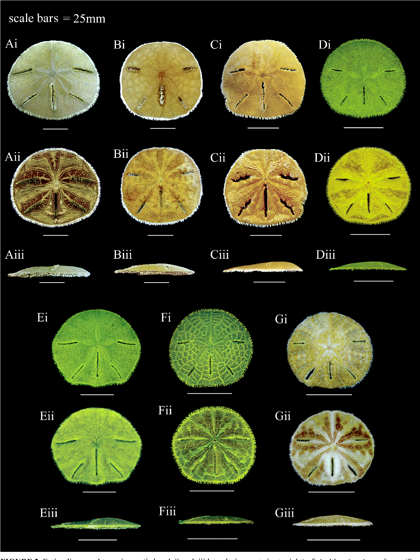 Figure 2 from A new genus of mellitid sand dollar (Echinoidea ...