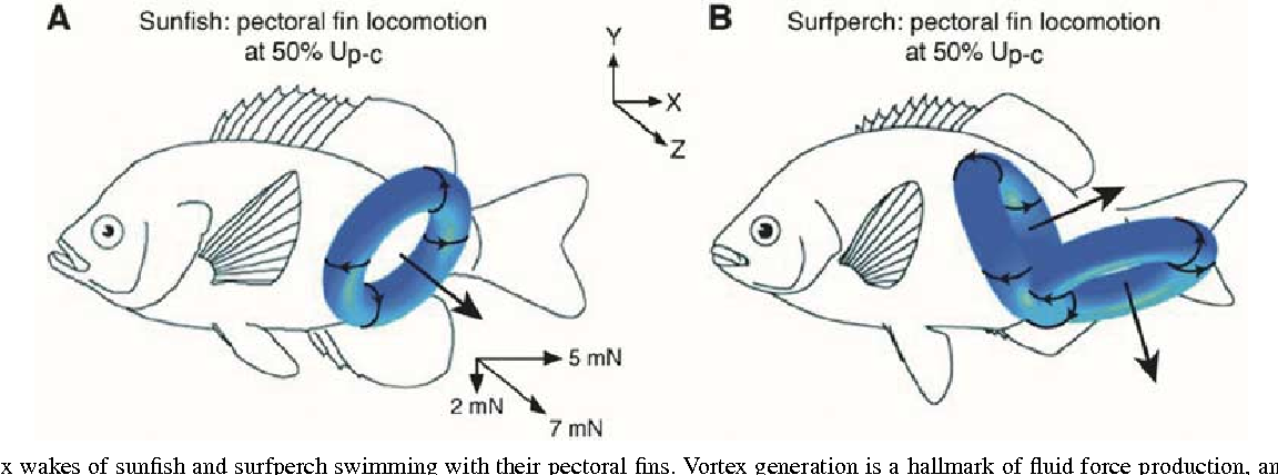 Morphology and experimental hydrodynamics of fish fin control ...