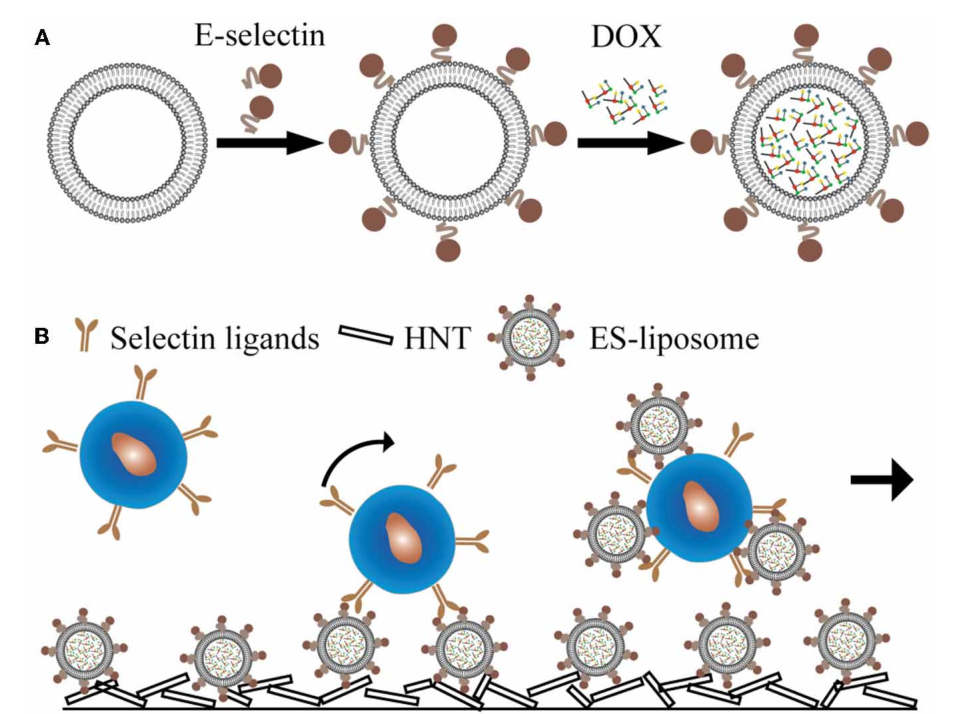 FIGURE 2 | E-selectin liposomal and nanotube-targeted delivery of doxorubicin to CTCs. (A) Schematic of E-selectin-coated liposome encapsulating doxorubicin (DOX). (B) Schematic of a microtube device for delivering DOX to captured CTCs.