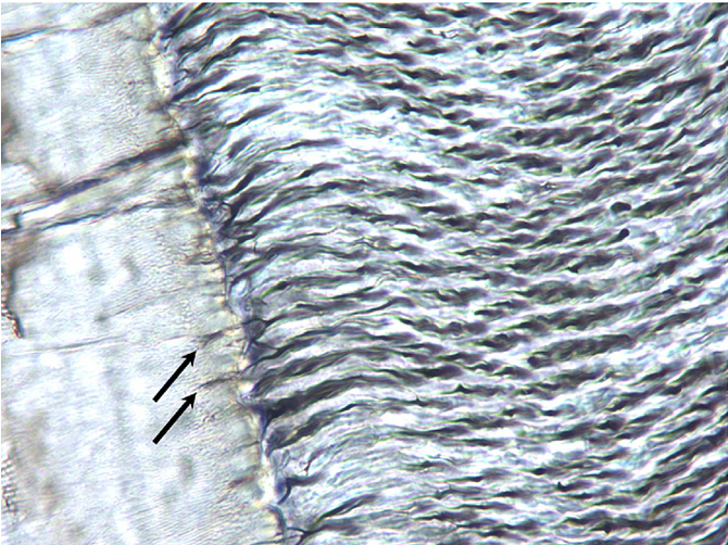 Figure 7 from Donkey dental anatomy. Part 2: Histological and ...