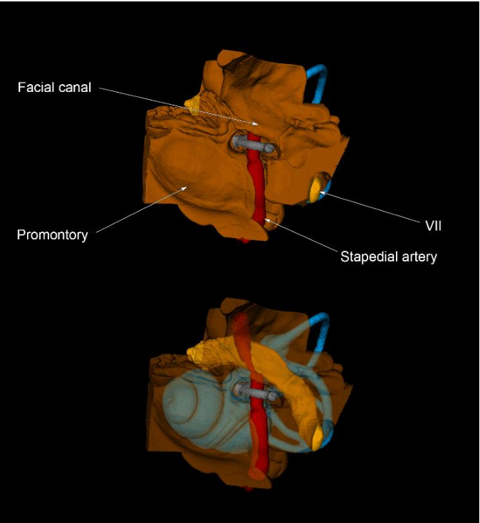 Figure 1 From Anatomy And Surgical Approach Of Rats Vestibular