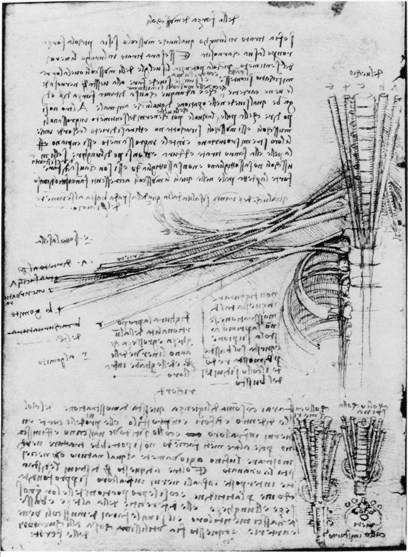Figure 28 from Leonardo da Vinci\'s \'Anatomia Naturale\'. The ...