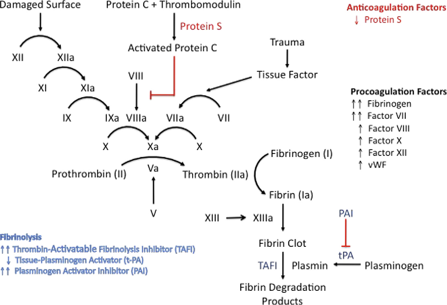 Fig. 3. Changes in coagulation cascade and fibrinolytic pathway during pregnancy.