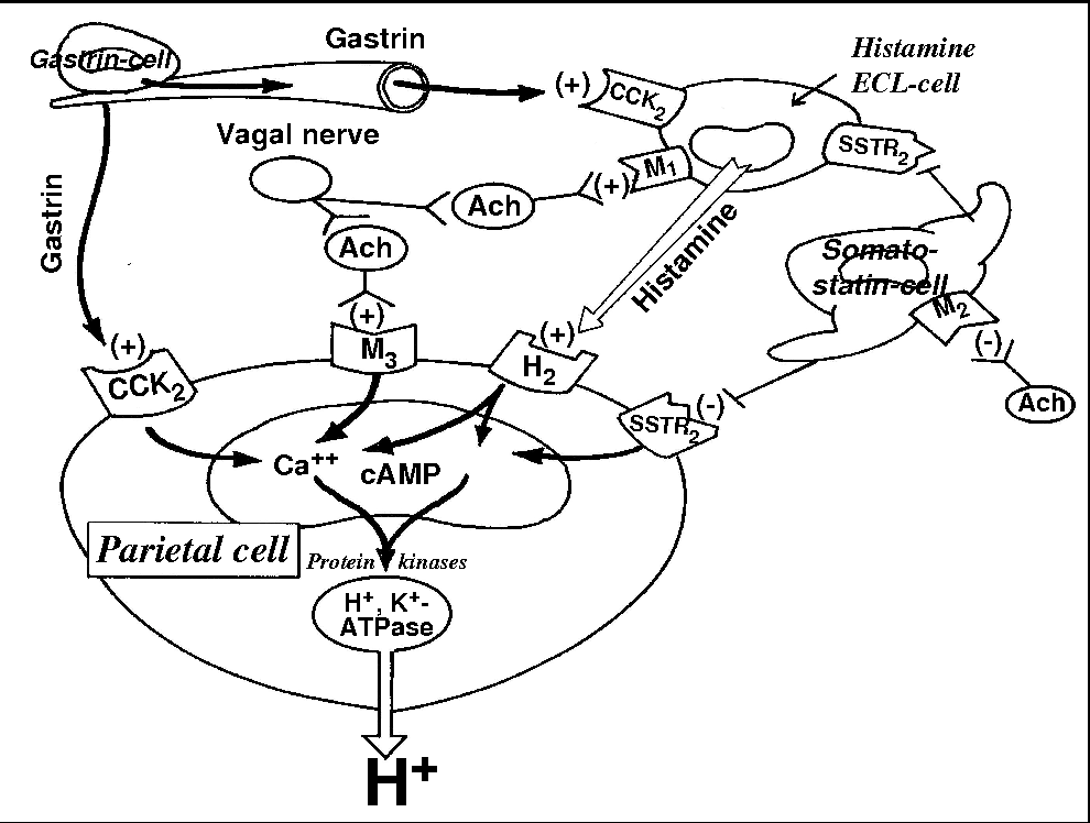 Figure 2 From From Nerves And Hormones To Bacteria In The Stomach